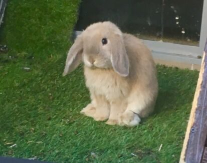 Purebred mini lop rabbits