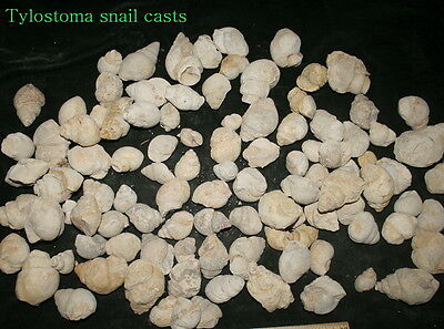 100 Tylostoma snail casts from Texas..Cretaceous period..