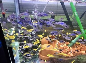 Blue dolphin cichlid Campsie Canterbury Area Preview