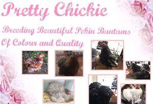 Pretty Chickie Pekin Bantams Bunbury Bunbury Area Preview