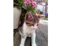 4x Cute kitties, 6 weeks old-friendly with children