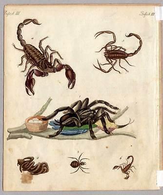 Spinnen-Skorpion-Tarantel Bertuch-Kupferstich 1800