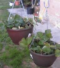 Strawberry Plants in hanging Baskets Orelia Kwinana Area Preview