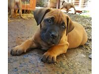 Boerboel Mastiff Puppies