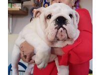 KC Reg Bulldog Boy
