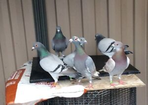 Pigeon from $ 7 Rowville Knox Area Preview