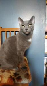 """Adult Female Cat - Domestic Short Hair: """"Chartreuse"""""""