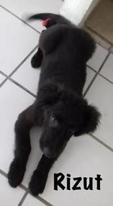 """Young Male Dog - Terrier-Border Collie: """"Rizut"""""""