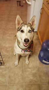 "Adult Female Dog - Husky-Shepherd: ""Karma"""
