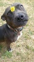 "Adult Female Dog - Terrier-Pit Bull Terrier: ""PATTI"""
