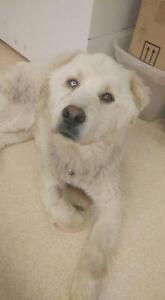 """Adult Male Dog - Great Pyrenees-Mixed Breed: """"Patrick"""""""