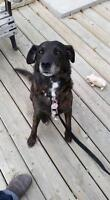 "Adult Female Dog - Shepherd-Jack Russell Terrier: ""Lady"""