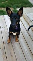 "Young Female Dog - Miniature Pinscher: ""Squeaks"""