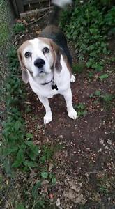 "Adult Female Dog - Beagle: ""Maya"""