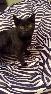 "Young Female Cat - Domestic Short Hair-black: ""Dolly Parton"""