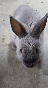 "Young Female Rabbit - Dwarf: ""Thumbelina"" Downtown-West End Greater Vancouver Area image 1"