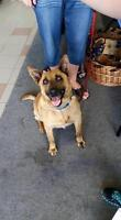 "Young Male Dog - German Shepherd Dog: ""Brady"""