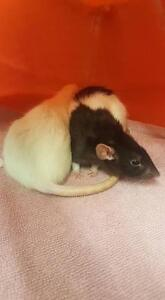 """Young Female Small & Furry - Rat: """"Cedar and Piper"""""""