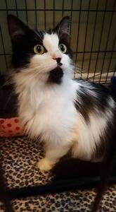 """Young Female Cat - Domestic Long Hair (Black & White): """"Orion"""""""