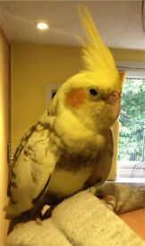 1year old female cockatiel
