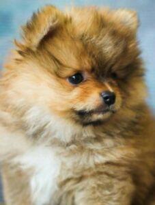 Pomeranian Puppy Mini Girls