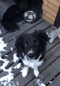 5 Month Border Collie - Male