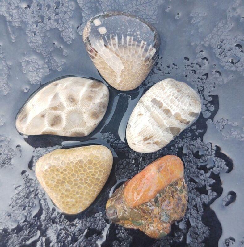5 BEAUTIFUL Unpolished MICHIGAN FOSSILS petoskey stone Hexagonaria pudding C10