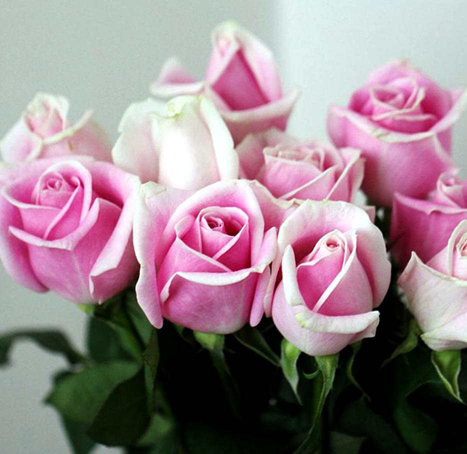 10 graines de Rosier grimpant couleur Rose 10x Pink Rose climbing rosebush seeds