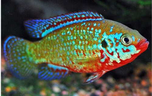 Live Baby African Turquoise Jewel Cichlids 4 Fish - $11.11 ...