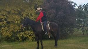 Beautiful ASH Gelding 6Yr Old approx 15hh Uralla Uralla Area Preview