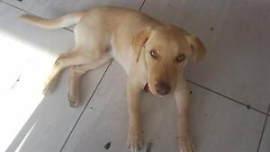 A Beautiful Lab Puppy requires new home Coorparoo Brisbane South East Preview