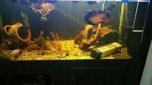 cichlids tropical aquarium oscar pleco acara tandanus betta tank Melton South Melton Area Preview