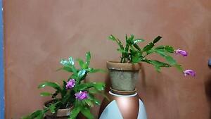 Zygocactus. Pot Plants, Flowers, Succulents, Trees Brunswick Moreland Area Preview