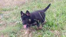 GERMAN SHEPHERD PUPPIES Stanthorpe Southern Downs Preview