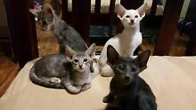 Siamese and oriental kittens East Maitland Maitland Area Preview