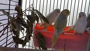 BABY BUDGIES Meadow Heights Hume Area Preview