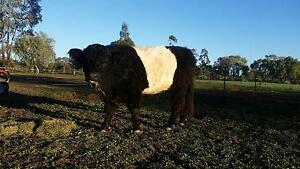 Miniature Belted Galloway Bull Moree Moree Plains Preview