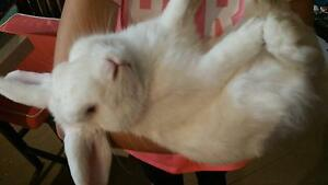 LOST WHITE RABBIT East Maitland Maitland Area Preview