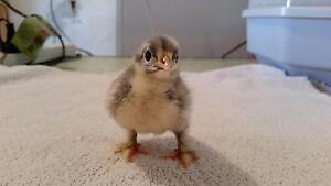 Pekin Frizzle chicks Gawler East Gawler Area Preview