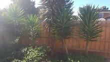 Yucca plants for sale Cranbourne Casey Area Preview