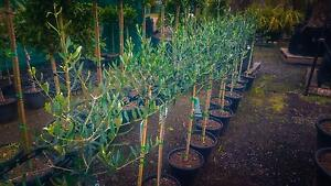Olive Trees Standards Greenvale Hume Area Preview