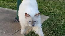 Ragdolls Looking for a Loving Home Catherine Field Camden Area Preview