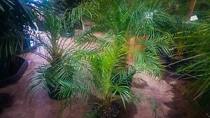 Pygmy (Dwarf) Date Palms Greenvale Hume Area Preview