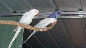 Indian Ringneck Parrots Braybrook Maribyrnong Area Preview