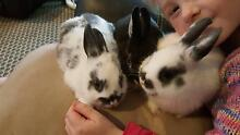 Netherland dwarf male and female free bag of pellets Pakenham Cardinia Area Preview