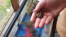 baby long neck turtles for sale Sale Wellington Area Preview