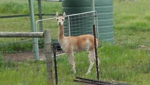 Rockleigh Alpacas - Taliesin - Male/wether/guardian Harrogate Mount Barker Area Preview