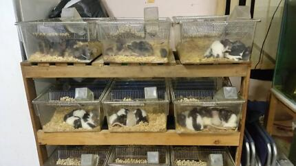 Live Rats and mice Enfield Burwood Area Preview