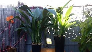 Cast Iron Plant. Pot Plants, Flowers, Succulents, Trees Brunswick Moreland Area Preview