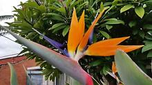Bird of Paradise (Strelitzia) Clearview Port Adelaide Area Preview
